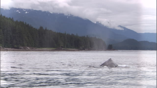 Humpback whale dives at surface. Available in HD.