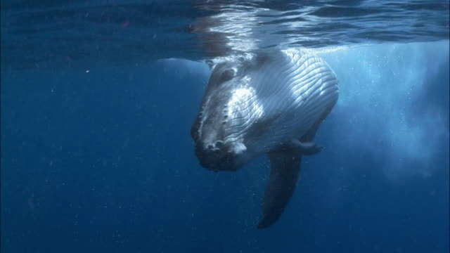 Humpback whale (Megaptera novaeangliae) followed by remoras (Echeneidae) skimming surface of water / Tonga, South Pacific