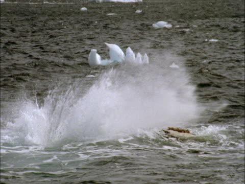 A humpback whale lobtails in Antarctica.