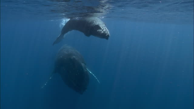 Humpback whale (Megaptera novaeangliae) mother and calf swimming along surface of water / Tonga, South Pacific