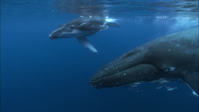 Humpback whale (Megaptera novaeangliae) mother and calf swimming under surface of water with remoras (Echeneidae) clinging to them / mother cradling calf on her rostrum / calf rolling over / Tonga, South Pacific
