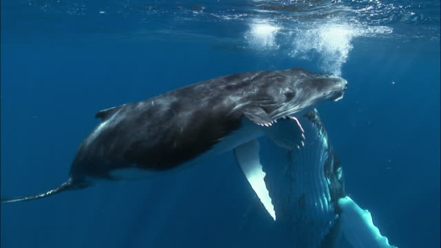 Humpback whale (Megaptera novaeangliae) mother and calf with remoras (Echeneidae) attached swimming under surface of water / coming face-to-face with cameraman / Tonga, South Pacific