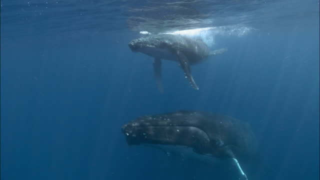 Humpback whale (Megaptera novaeangliae) mother and calf with remoras (Echeneidae) attached to bellies swimming along surface of water / Tonga, South Pacific