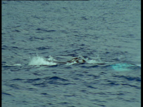 Humpback whale quickly spouts at surface, then dives, Hawaii
