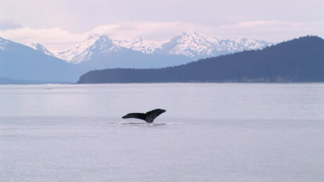WS, Humpback Whale (Megaptera novaeangliae) swimming in Glacier Bay, snow capped mountains in background, Glacier Bay National Park and Preserve, Alaska, USA