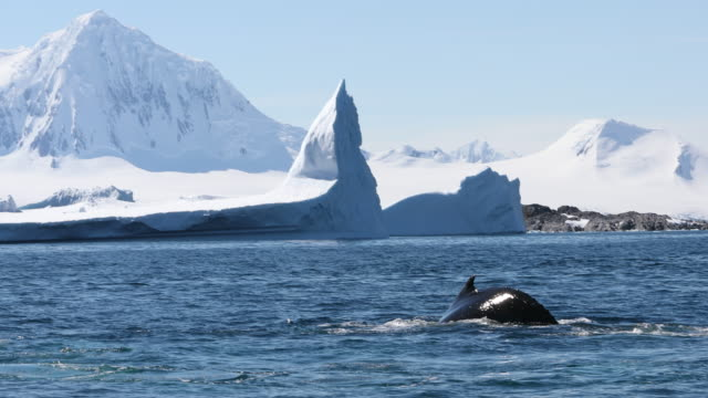 Humpback Whale Tail Fluke and Icebergs in Antarctica