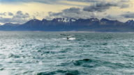 Humpback Whale tail while submerging in the Beagle Channel