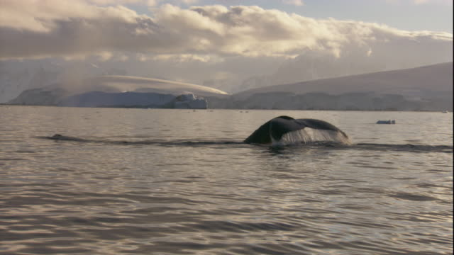Humpback whales submerge near the coast of Antarctica. Available in HD.