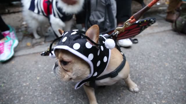Hundreds of dogs dressed in costume participate in the 25th Annual Tompkins Square Halloween Dog Parade on October 24 2014 in New York United States...