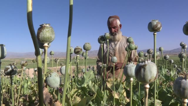 Hundreds of farm labourers from across theAfghanistan flock to Uruzgan province for the most lucrative time of the year the poppy harvest