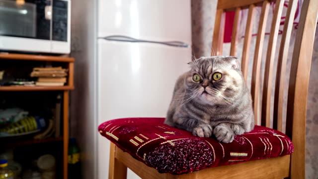 Hongerige kat wacht in de buurt van de koelkast op stoel.
