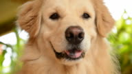 Hungry Golden Retriever Dog Want to Eat Food