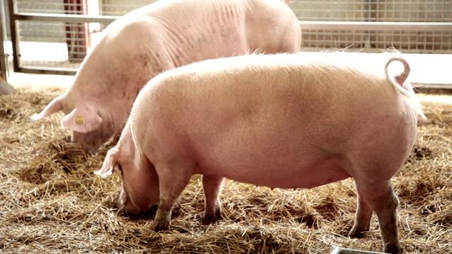 Hungrig Schweinen.