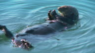 Hungry sea otter floating on its back and eating muscles