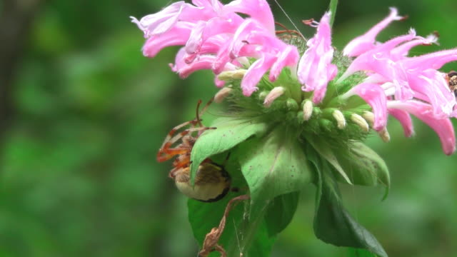 Hunting spider on flower