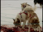 Husky dogs eat seal meat and cover ice with blood stains Arctic
