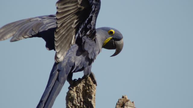 Hyacinth macaw (Anodorhynchus hyacinthinus) perched at top of tree.