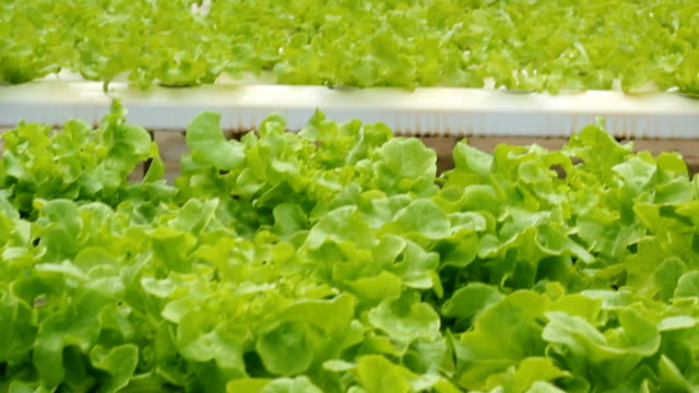 Hydroponic vegetable,Dolly shot
