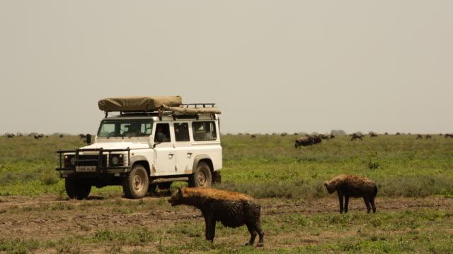 Hyena and wildebeest with safari vehicle