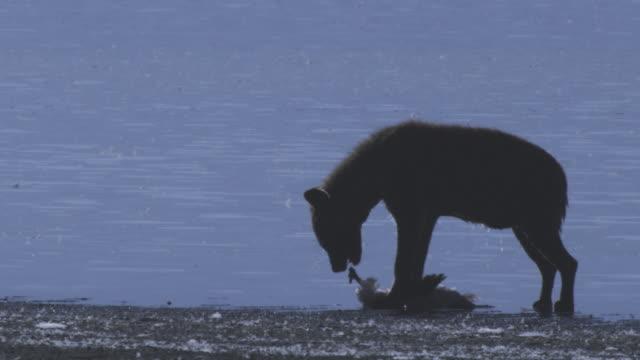 MS Hyena eats Flamingo carcase on shoreline backlit