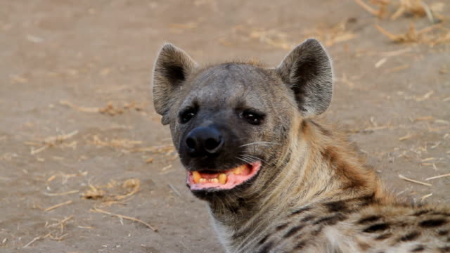 Hyena looking around with teeth showing/ Kruger National Park/ South Africa