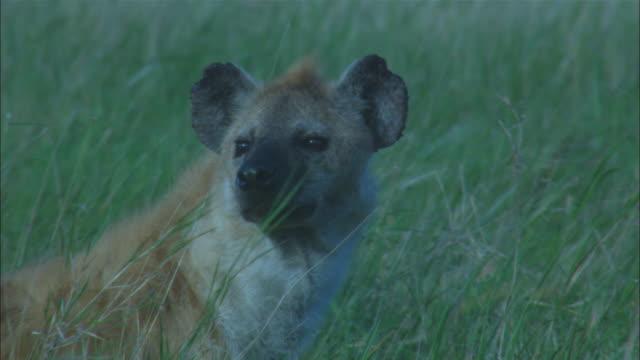 CU hyena looks around in long grass then walks off