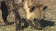 CU Hyena sniffing ground and picking up food very close to camera