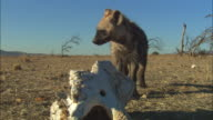 MS Hyena sniffs at African elephant skull in foreground then runs off
