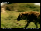 MS Hyena walking purposefully right to left, then away from camera through long grass, stops and looks around