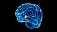 Hypothalamus in the brain
