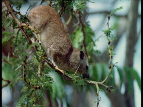 Hyrax feeds in acacia tree, Masai Mara National Reserve, Kenya