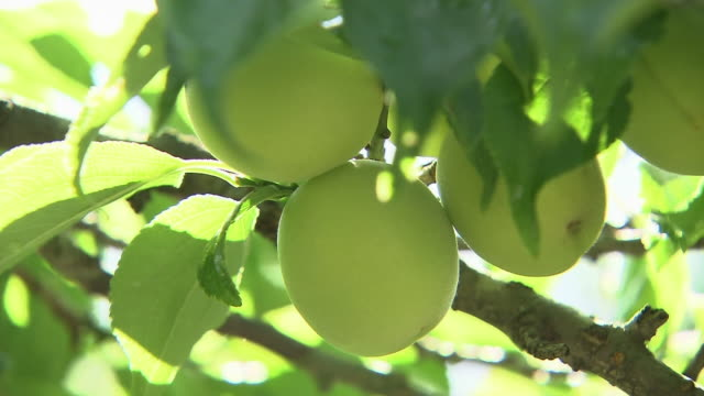 Extreme close up shot of plums on a tree sun shining through and over green leaves of the tree
