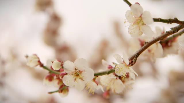 Extreme close up shot of white plum blossom flowers