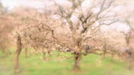 Ibaraki Kairakuen Garden Fixed shot of a big plum blossom tree in blurred vignette Slowly zooming in on the detail