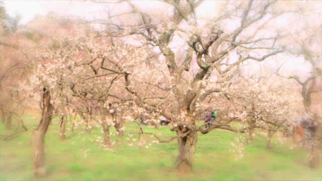 Ibaraki Kairakuen Garden Fixed shot of a big plum blossom tree in blurred vignette Slowly zooming in on the detail