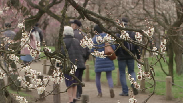 Ibaraki Kairakuen Garden fixed shot of white plum blossom trees and visitors walking behind them