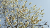 Ibaraki Kairakuen Garden Low angle view of white plum blossom flowers on tree branches