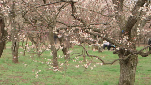 Ibaraki Kairakuen Garden Pan shot of the plum blossom forest visitors walking around the trees out of focus seen behind the trees