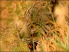 Iberian Lynx (Lynx Pardinus) in wild, lying in grass, panting, tufted ears, Sierra Morena, Andalucia, Southern Spain