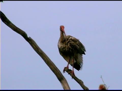 Ibis on branch, Bald Head Island, North Carolina