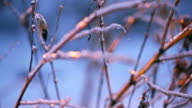 Ice covered bush branches