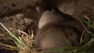 Ice rats pack grass in their burrow. Available in HD