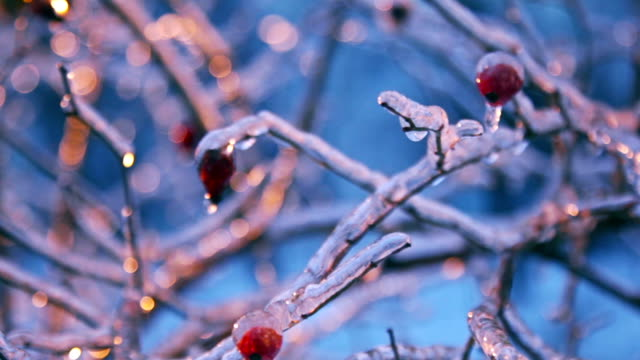 Ice-covered eglantine bush with berries