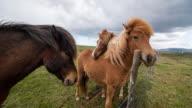 Icelandic horses grazing on a pasture