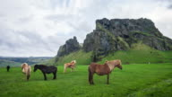 Icelandic horses grazing on a pasture