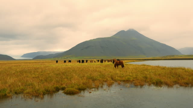 Icelandic horses on the pasture