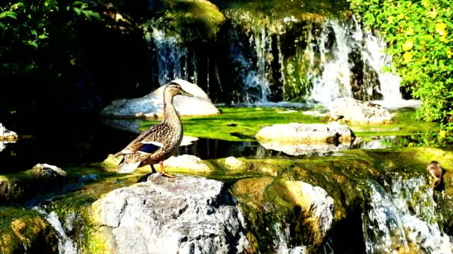 Idyllic Waterfall with duck