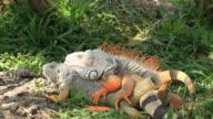 Iguana mating