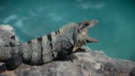 Iguana nodding head in Yucatan