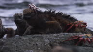 Iguanas and Crabs in the Galapagos